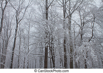 hoar frost on winter branches - hoar frost on maple forest