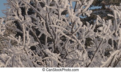 Hoar Frost on Winter Willows