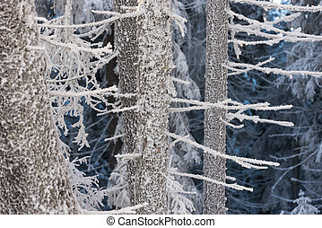 Hoarfrost in the fir forest