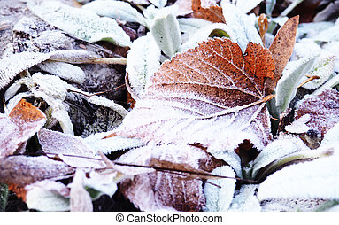 hoarfrost leaves as background, background, autumn scene. Dry maple leaves, covered with frost, on the ground in the fall