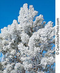 Hoarfrost on a pine