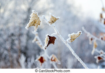 Hoarfrost on dry leaves