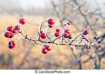 Hoarfrost on leaves - Winter background, red berries on the...