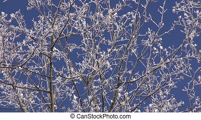 hoarfrost on maple tree branch and sky background