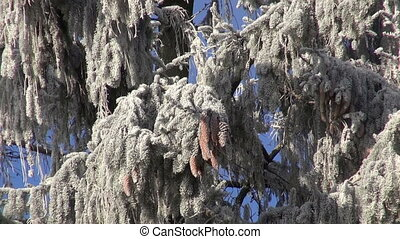 hoarfrost on old big winter firs in forest