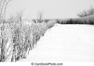 Hoarfrost on the hedge