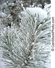 hoarfrost on the needles of pine