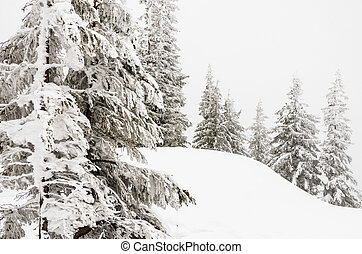 Hoarfrost on the spruce trees high in the Carpathian mountains