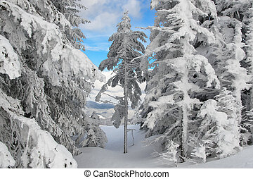 Hoarfrost on the trees high in the Carpathian mountains.