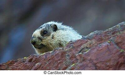 Hoary Marmot (Marmota caligata) peaks over a rock ledge at...