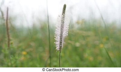 Hoary plantain flower in a meadow