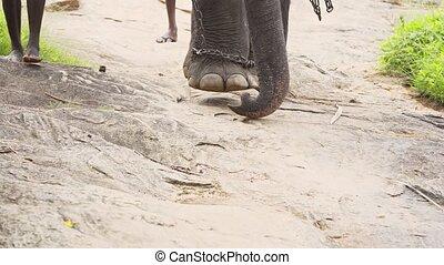 hobbled, plods, bas, nature, sri, chaîne, piste, lentement, lankan, éléphant
