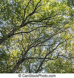 hoch, laubbäume, in, abfallend, wald