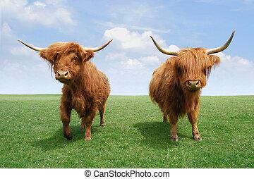 hochland, cattles