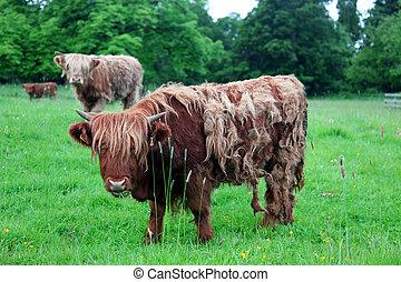 hochland, kuh, schottische