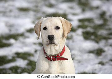 hof, labrador, schauen, fotoapperat, junger hund, apportierhund, winter