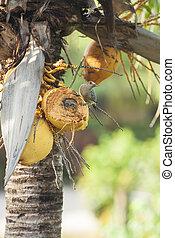 Hoffman's Woodpecker Sitting in a Coconut Palm
