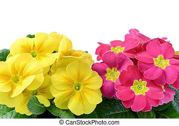 hoge hoek, fiew, van, gele, en, punker, sleutelbloemen, in, bloempot, op, witte , vrijstaand, achtergronden