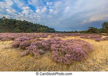 Hoge Veluwe Heathland - Heathland in national park de Hoge...