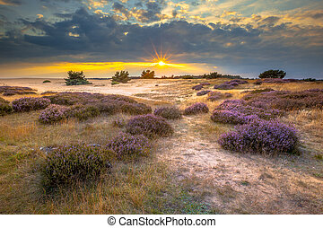 Heathland in sand dunes in national park de Hoge Veluwe around sunset under a clouded sky in August.