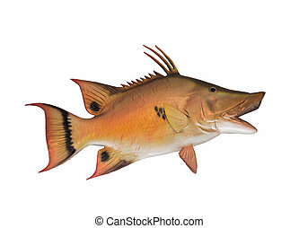 Hogfish mounted with white background