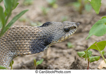 Hognosed Snake in the weeds