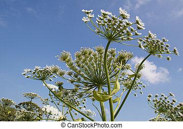 hogweed - Giant Hogweed (Heracleum Mentagazzanium), aka Cow ...
