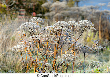Hogweed in hoarfrost