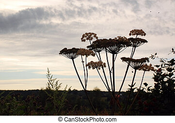 Hogweed in the late summer in the grey sky background