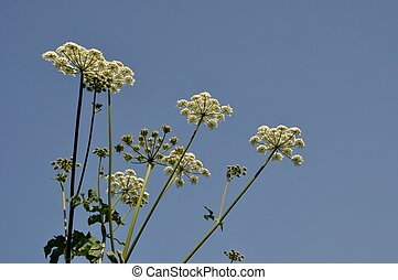 hogweed on blue sky