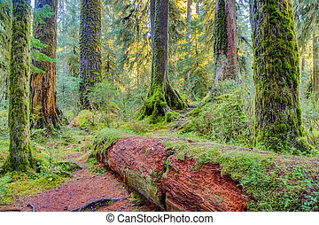 Hoh Rainforest view - Trees covered with moss in Hoh...