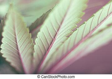 hoja cannabis
