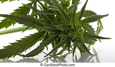 hoja cannabis, marijuana, aislado, encima, blanco
