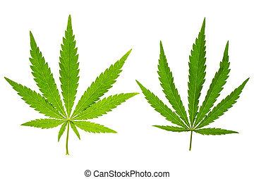 hoja de la marijuana, en, aislado