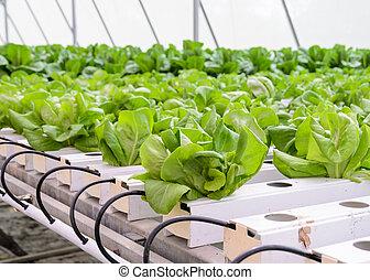 hoja, hydroponic, vegetales, butterhead, plantación, lechuga