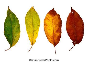 hoja otoño, aislado