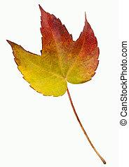 hoja otoño, -, aislado