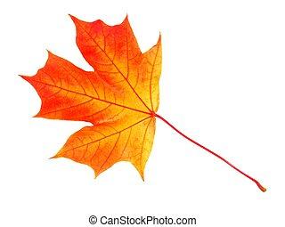 hoja otoño, blanco