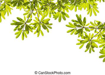 hoja verde, blanco, plano de fondo