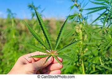 hoja verde, de, marijuana, en, mano