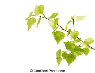 hojas, árbol., abedul