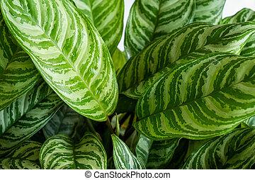 hojas, único, aglaonema, blanco, textura