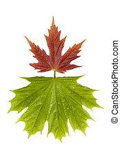 hojas, 3, arce