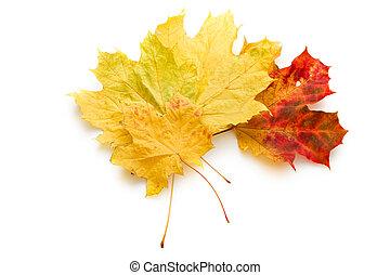 hojas, aislado, en, el, fondo blanco