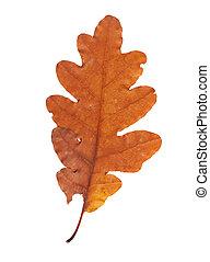 hojas, aislado, otoño, secado, plano de fondo, blanco