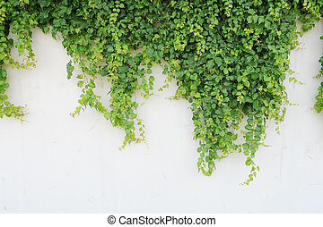 hojas, aislado, plano de fondo, blanco, hiedra