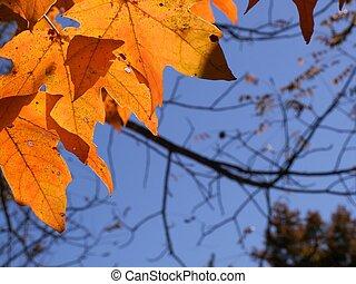 hojas, arce