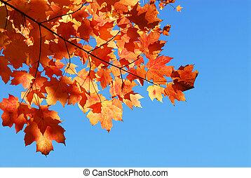 hojas, arce, otoño