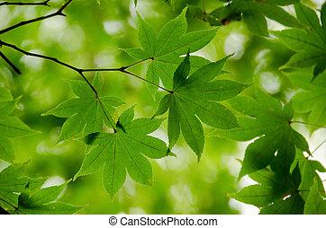 hojas, arce, plano de fondo, verde