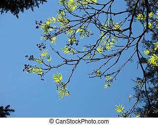 hojas azules, amur, cielo, joven, contra, fruta, corktrees,...